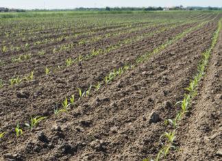 Crisi del mais: la filiera cerca soluzioni