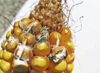 Micotossine nei foraggi: come affrontare il problema