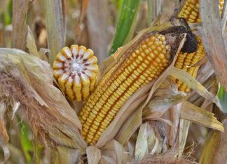 Piano nazionale per rilanciare le superfici a mais