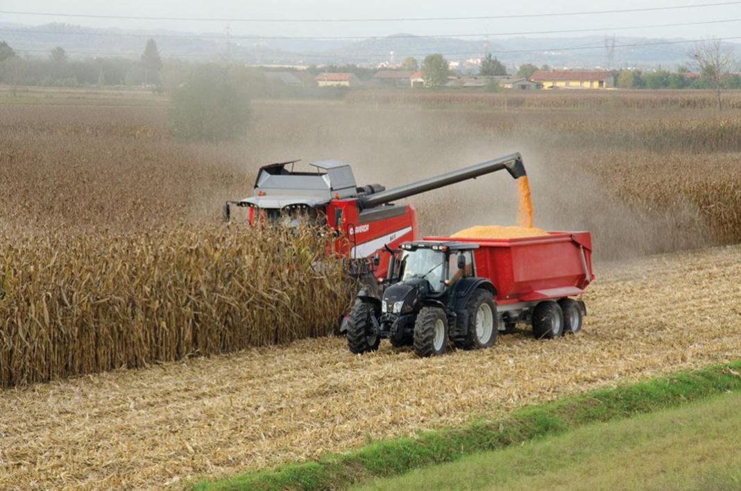 Tempo di raccolta del mais: cosa sapere